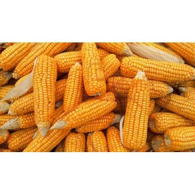 Maïs entier, boîte de 50 épis cueillis à la main