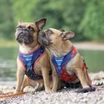 Harnais et Laisses pour chien
