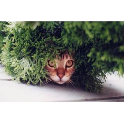 Herbe a chat - Herbe a chat graine ...